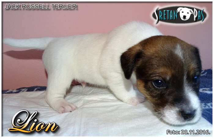 Jack Russell terijer Lion 06