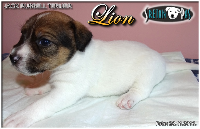 Jack Russell terijer Lion 07