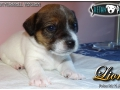 Jack Russell terijer Lion 05