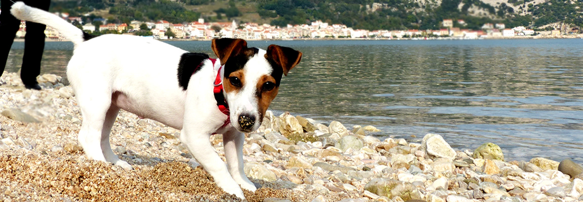 Jack Russell terijer Virginia